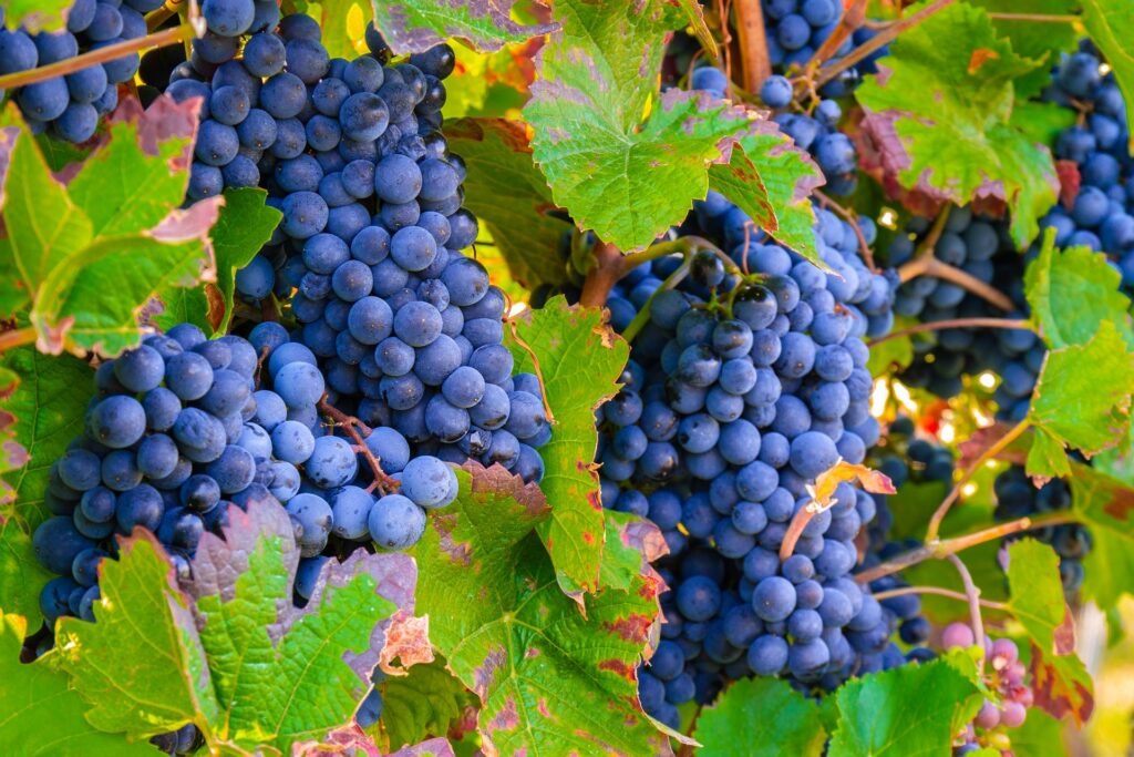 grapes-3680486_1920